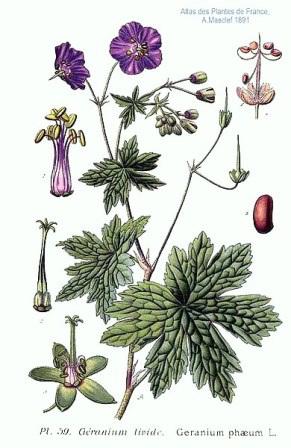 Geranium phaeum L