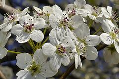 Bradford Pear Blossoms – Greenbelt, Maryland