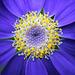 Flowers from Gaiser - Cineraria