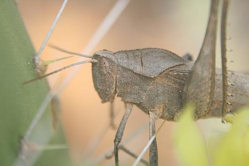 Locust - Close-up