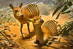 Zebra Duikers Diorama – Carnegie Museum of Natural History, Pittsburgh, Pennsylvania