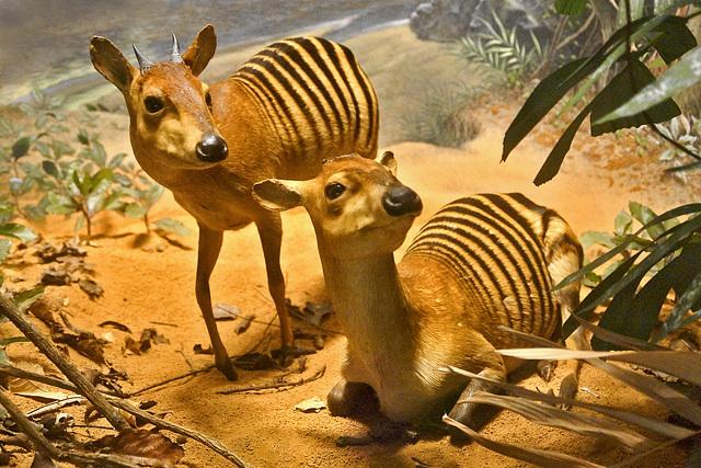 Zebra Duikers Diorama – Carnegie Museum of Natural History, Pittsburgh, Pennsylvania