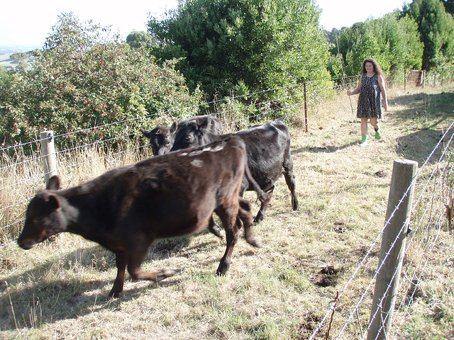 Sandy moving the steers 2