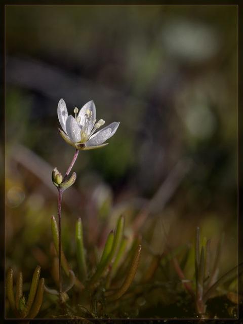 Spring Sandwort: The Second Flower of Spring
