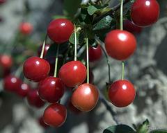 Summer Garden - Morello cherry pie ahead - birds have already eaten all the table cherries...