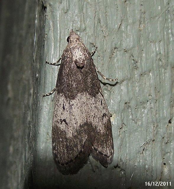 Aphomia baryptera