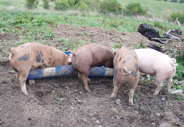 snouts in the trough
