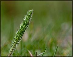 Fuzzy Wild Grass