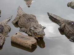 Cuban Crocs