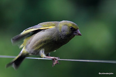 Greenfinch joining us for breakfast