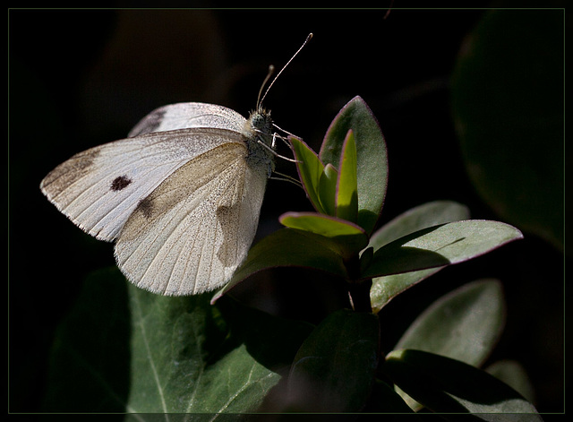 Cabbage White Butterfly on a Jacksonville Plant (Explore #43)