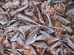 Frosted Horse Chestnut
