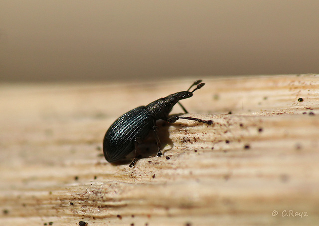 Another Weevil
