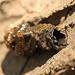 Caddisfly Larval Case
