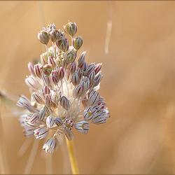 Poesia de terra sedenta, Allium paniculatum