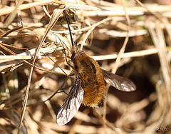 Common Bee Fly