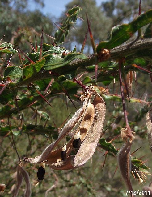 Acacia paradoxa Seedpods