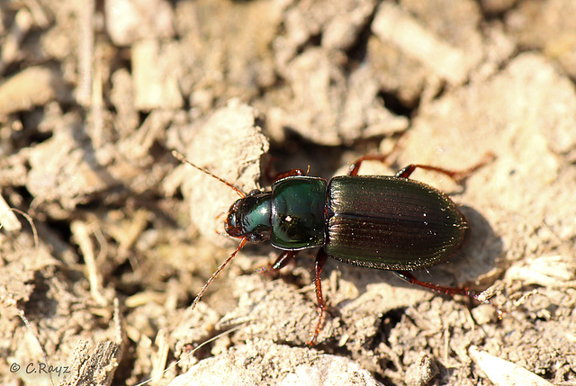 Ground Beetle - Harpalus affinis
