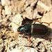 Ground Beetle - Harpalus affinis