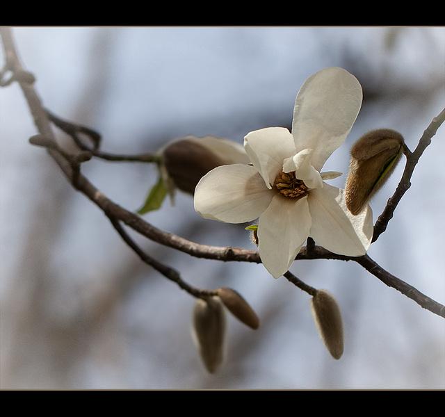 Magnolia Blossom and Buds