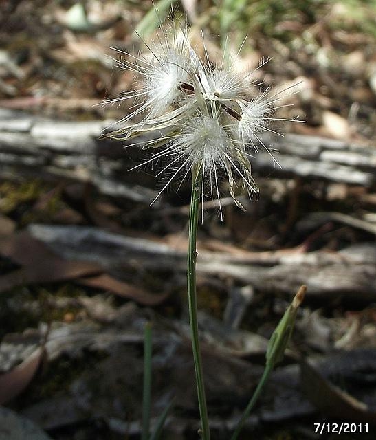 Asteraceae Species
