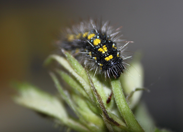 Scraggy the Scarlet Tiger Caterpillar