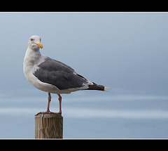 Western Gull on Post at Brookings, Oregon