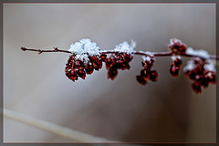 Russet Weed Covered with Snow