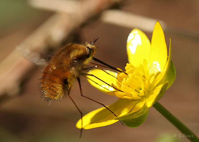 Common Beefly