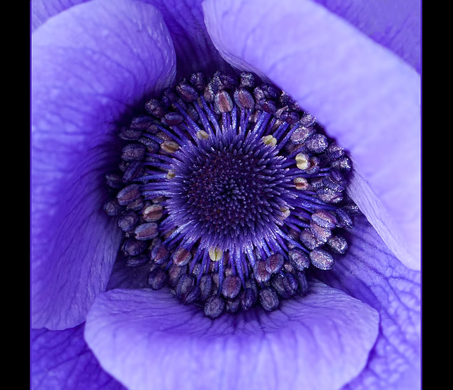 Heart of an Anemone