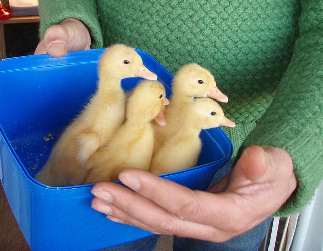 bucket of ducklings