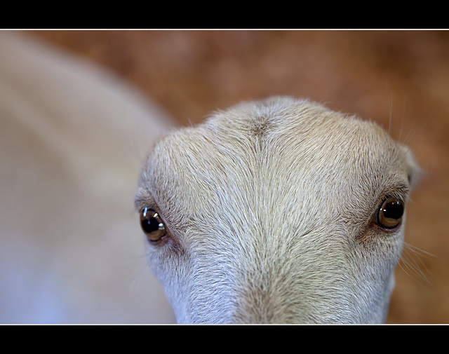 Jackson County Fair: Staring Contest with an Earless Goat