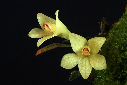 Dendrobium cuthbertsonii var. semi-alba