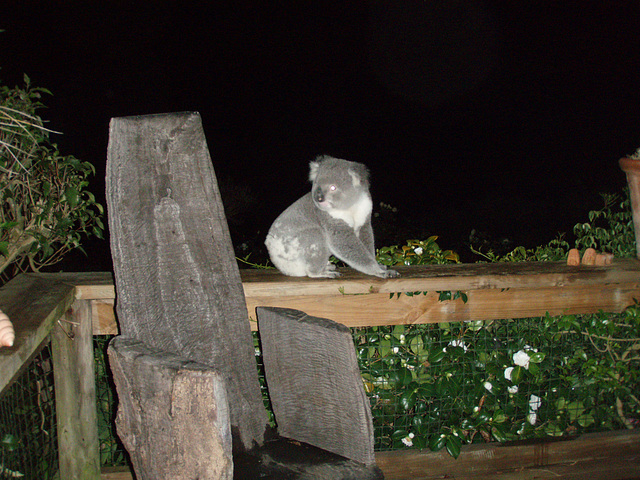 koala on our decking