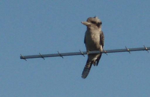 kookaburra on the aerial
