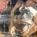 Gorilla eats woman