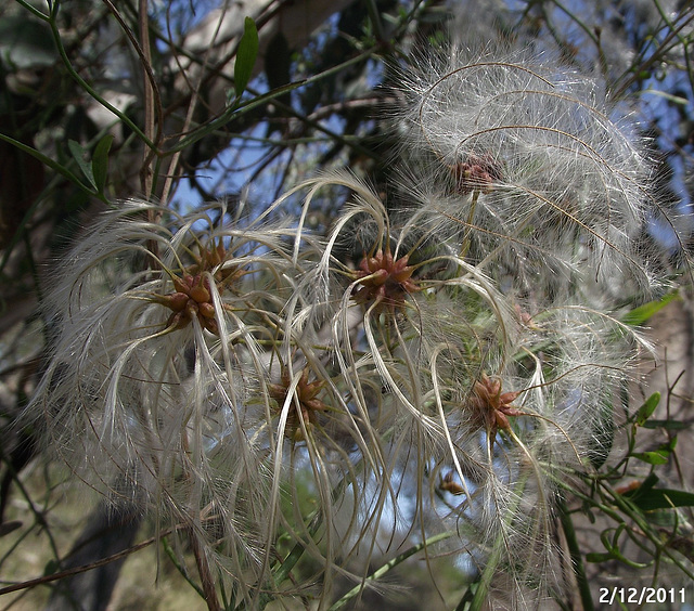 Clematis microphylla
