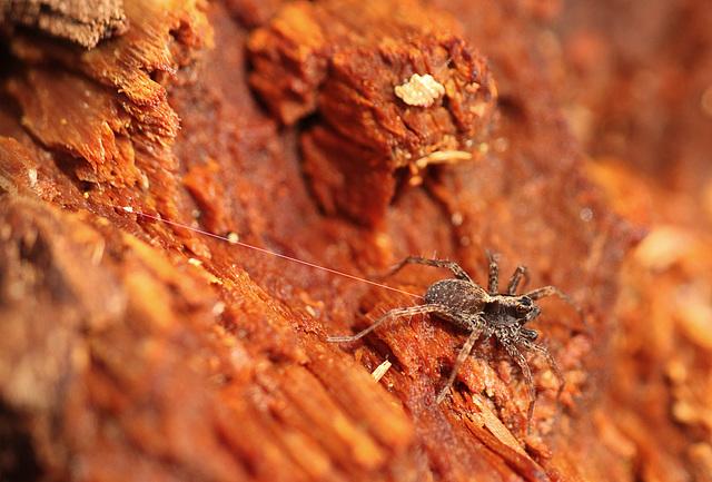 Wolf Spider on Tether