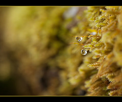 Twin Droplets on Twin Sporophytes