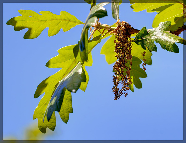 Ipernity white oak tree catkins the 99th flower of spring summer white oak tree catkins the 99th flower of spring summer mightylinksfo