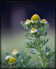 Pineapple Weed: The 97th Flower of Spring & Summer!