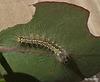 Uraba lugens Caterpillar Early Instar