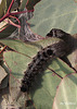 Urocoma baliolalis Caterpillars Now Pupating