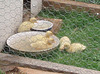 ducklings' new garden enclosure