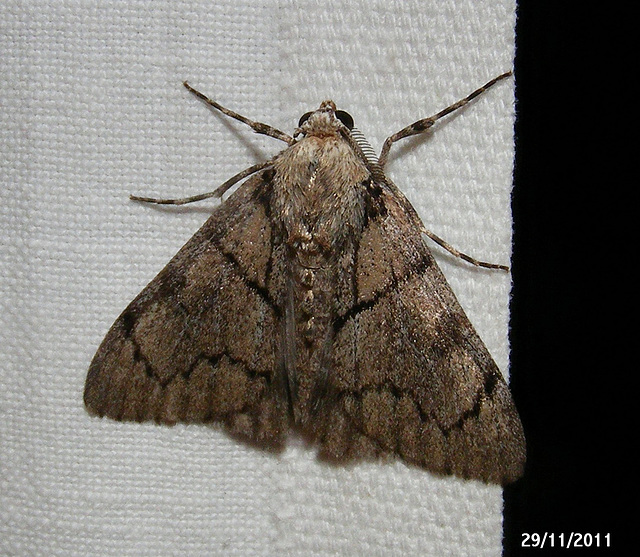 Rhuma species (Male)