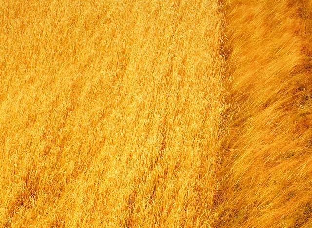 When we walked in fields of gold
