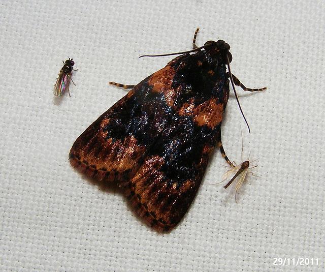 Araeopaschia Species