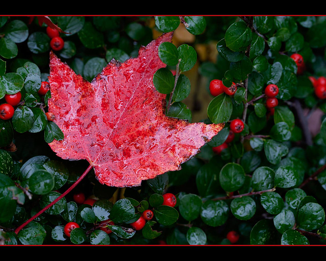 Fiery Wet Leaf Against Berry Bush