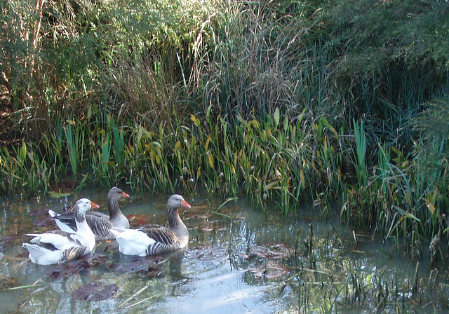 our geese discover the pond
