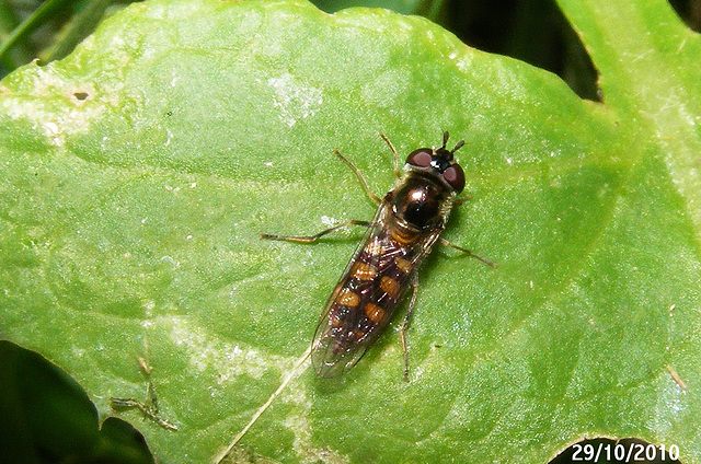 Melangyna viridiceps (Common Hover Fly)